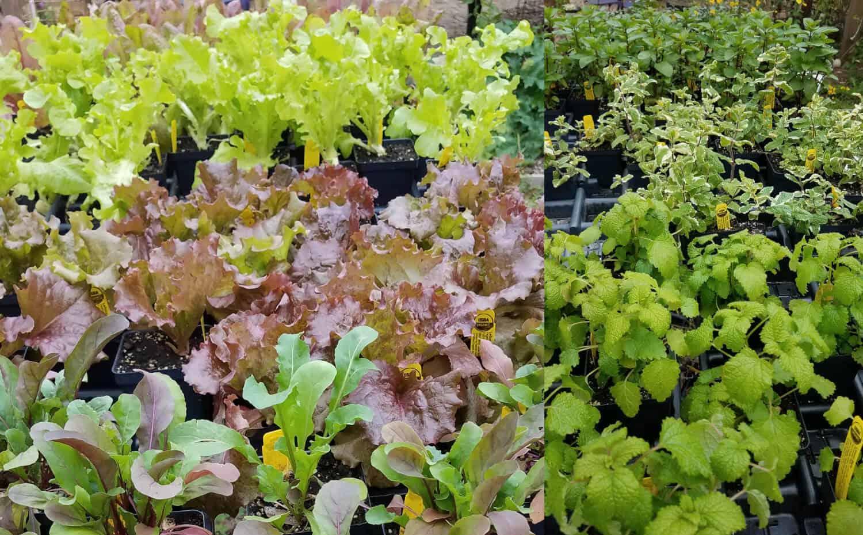 Organic Veggies & Herbs Starts